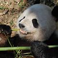 Cute Panda Bear With Very Sharp Teeth Eating Bamboo by DejaVu Designs
