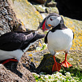 Cute Puffin Couple In Iceland Latrabjarg by Matthias Hauser