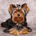 Cute Puppy by Konstantin Gushcha