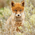 Cute Red Fox Kit by Roeselien Raimond