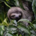 Cute Sloth Face by Sally Jones