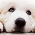Cute White Puppy Dog Lying And Looking Up. Polish Tatra Sheepdog by Michal Bednarek