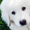 Cute White Puppy Dog Portrait. Polish Tatra Sheepdog by Michal Bednarek