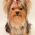 Cute Yorkie by Yana Reint
