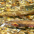 Cutthroat Trout In Clear Mountain Stream by Greg Hammond