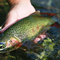 Cutthroat Trout On The Middle Fork by Drew Rush