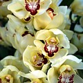 Cybidium Orchids by Mattie Bryant