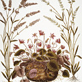 Cyclamen & Lavender, 1613 by Granger