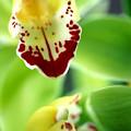 Cymbidium Seafoam Emerald Orchid by Kathy Yates