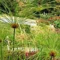 Cyperus Papyrus - Bulrush by Valerie Ornstein