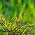 Cypress Branches In A Field Of Green by Ed Gleichman