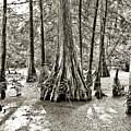 Cypress Evening by Scott Pellegrin