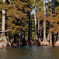 Cypress Grove Five by Bob Phillips