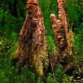 Cypress Knees by Christopher Holmes