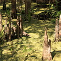 Cypress Knees In Green Swamp by Carol Groenen