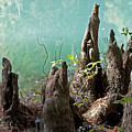 Cypress Knees In The Mist by Kenneth Albin