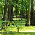 Cypress Knees In Wetlands by Ginger Repke