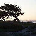 Cypress Silhouette by Maggie Cruser