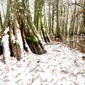 Cypress Snowfall by Andy Crawford