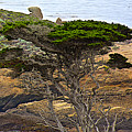 Cypress Tree In Point Lobos State Reserve Near Monterey-california  by Ruth Hager