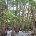 Cypress Trees Cypress Knees by Rebecca Shupp