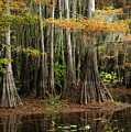 Cypress Trees Forest by Iris Greenwell
