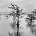 Cypress Trees In Lake Mattamuskeet North Carolina by Rande Cady