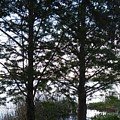 Cypress Trees by John Hiatt