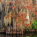 Cypress Winter Colors by Stefan Mazzola