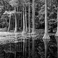 Cypresses In Tallahassee Black And White by Carol Groenen