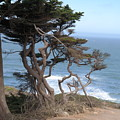 Cypress On The Cliff 15 by Pusita Gibbs
