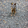 D-a0051-dc Gray Fox Pup by Ed Cooper Photography
