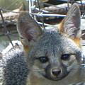 D-a0068 Gray Fox Pup by Ed Cooper Photography