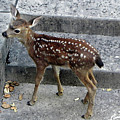 D-a0069 Mule Deer Fawn On Our Property On Sonoma Mountain by Ed Cooper Photography