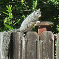 D-a0071-e-dc Gray Squirrel On Our Fence by Ed Cooper Photography