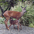 D2b6314 Fawn And Deer Mom by Ed Cooper Photography