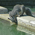 D2b6341-dc Gray Squirrel Drinking From The Pool by Ed Cooper Photography