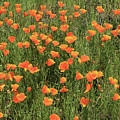 d7b6307 California Poppies by Ed Cooper Photography