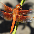 d7b6390 Red Veined Dragonfly by Ed Cooper Photography