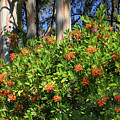 D8b6308 Toyon Plant Aka Christmas Berry by Ed Cooper Photography
