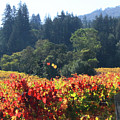 D8b6309 Fall Colors In Jack London Vineyard by Ed Cooper Photography
