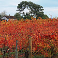 D8b6310 Jack London Vineyard by Ed Cooper Photography