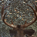 D8b6352 8 Point Buck Sonoma Ca by Ed Cooper Photography
