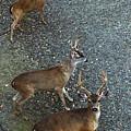 D8b6353 3 Mule Deer Bucks Ca by Ed Cooper Photography