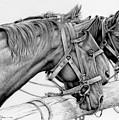 Da158 3 Horses Daniel Adams  by Daniel Adams