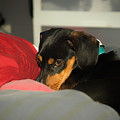 Dachshund Dog, Pug Dog, Good, Time, Bed, Sleeping, Relaxing Time by Jean-Yves Salou