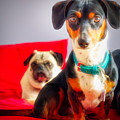 Dachshund Dog, Pug Dog, Good Time On Bed by Jean-Yves Salou