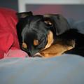 Dachshund Dog, Pug Dog, Good Time On Bed, Sleeping by Jean-Yves Salou