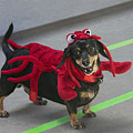 Dachshund Lobster by Mitch Spence