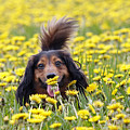 Dachshund On A Meadow In Bloom by Michal Boubin
